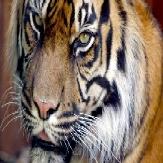 lizzie's tiger-1-1