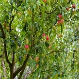 the-apple-orchard-2
